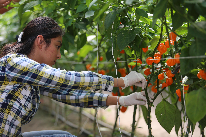 Cultivo de chile habanero en la Faculta de Agronomía