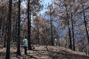 Recomienda UANL coníferas para reforestar el Parque Cumbres